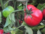 heirloom-tomato-on-vine